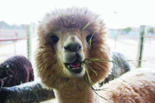 Manna Meadows farm is off of 16842 Metro Ave. in Bonner Springs, Kan., and is home to 50 alpacas. Visitors can take a tour of the farm as well as meet and pet the alpacas. Alpacas have three stomachs they use to digest food.
