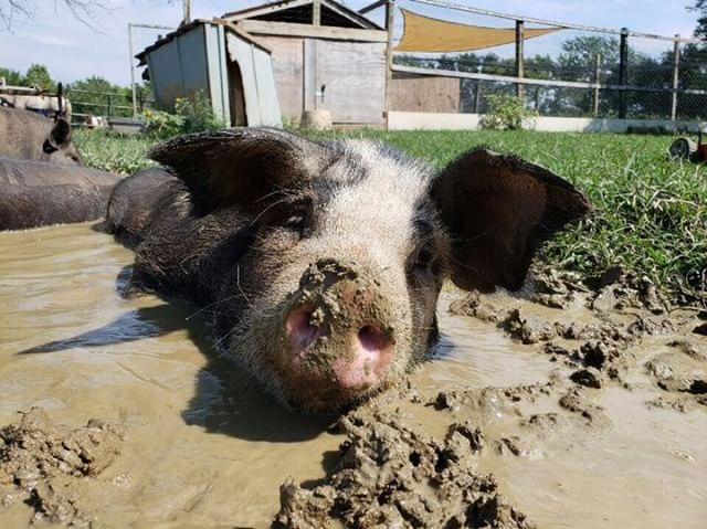 Pig plays in mud.