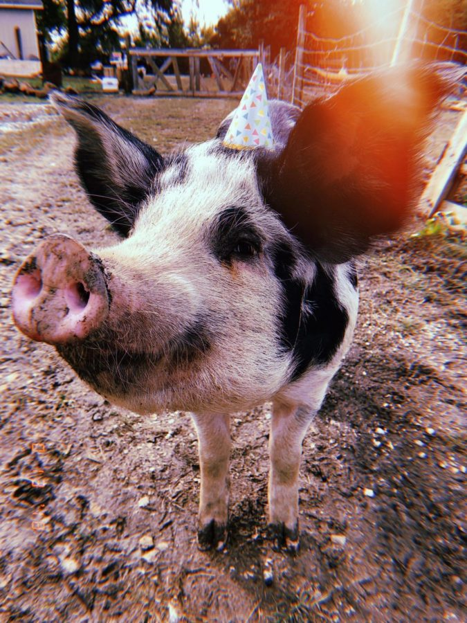 Pig smiles in the sun.